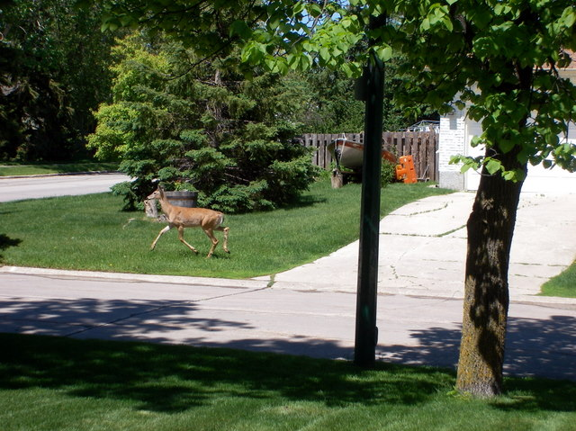 Deer in front of the house