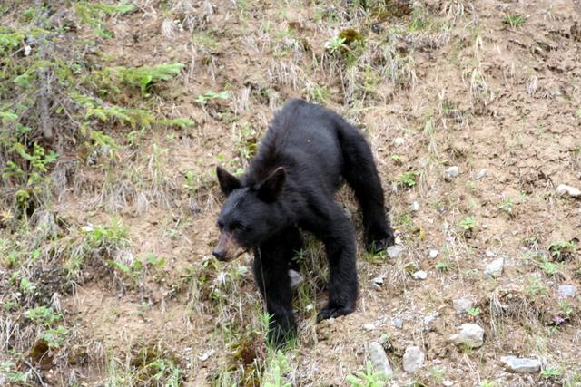 Black Bear Cub 새끼 곰