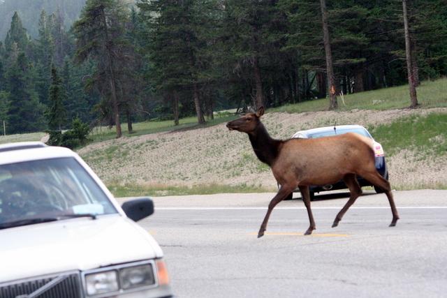 Elk on Jasper Road 재스퍼의 엘크