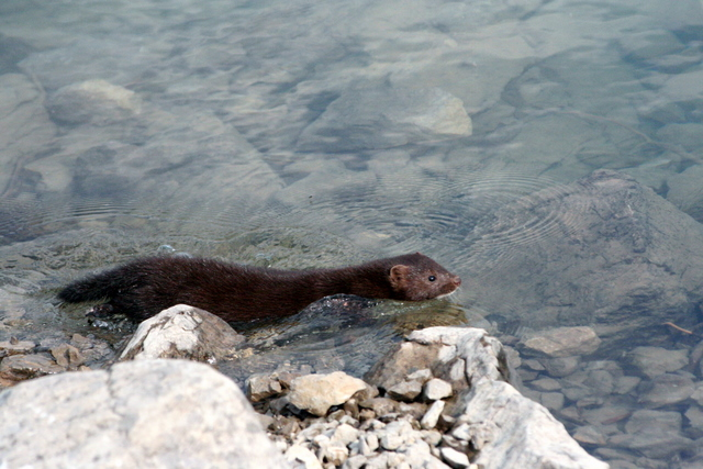 North American River Otter 북미 수달