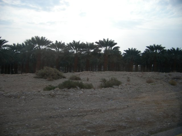 Dates Plantation along the Dead Sea