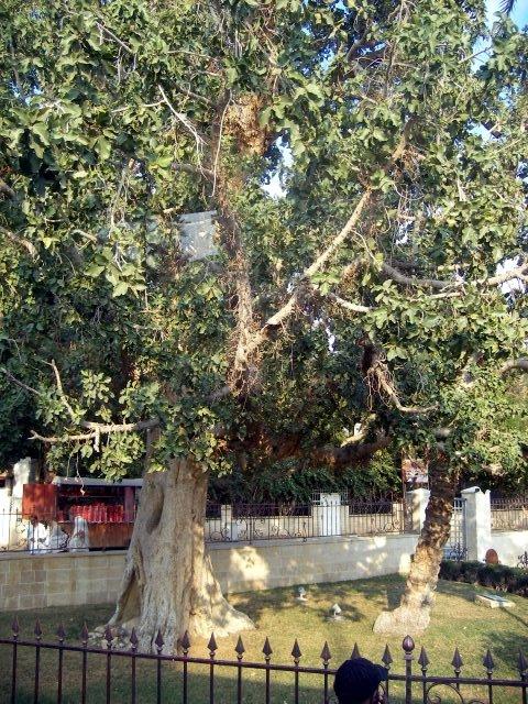 Zacchaeus climbed this tree