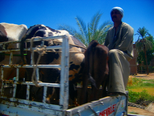 Cow Transportation