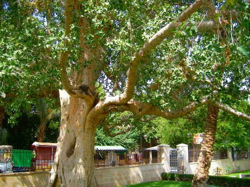 Zacchaeus' Tree