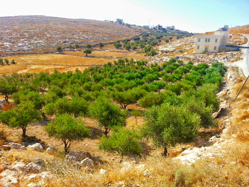 Olive trees are everywhere